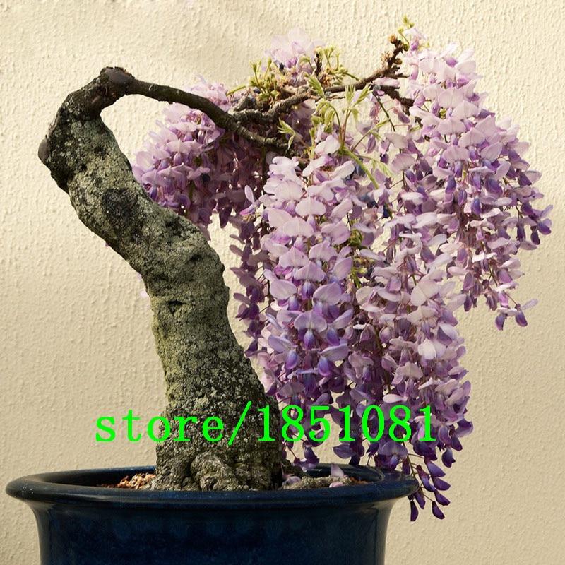 Big Sale Hot Sale Unique Bonsai Plant Purple Wisteria Tree