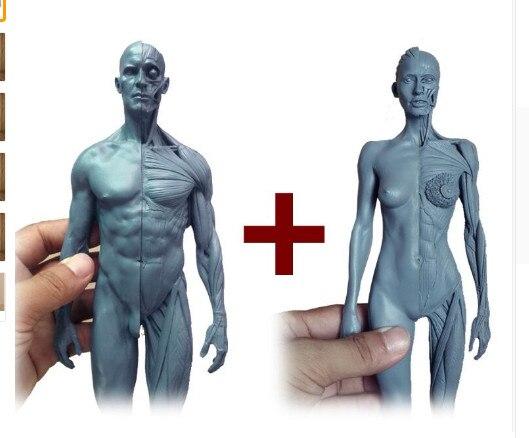 1:6 30 cm l Humano anatomia Masculina & fêmea Carne conjunto crânio ...