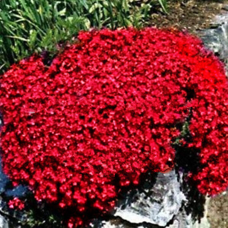 Free shipping50 perennial flowering groundcover seeds rock cress free shipping50 perennial flowering groundcover seeds rock cress bright red in bonsai from home garden on aliexpress alibaba group mightylinksfo