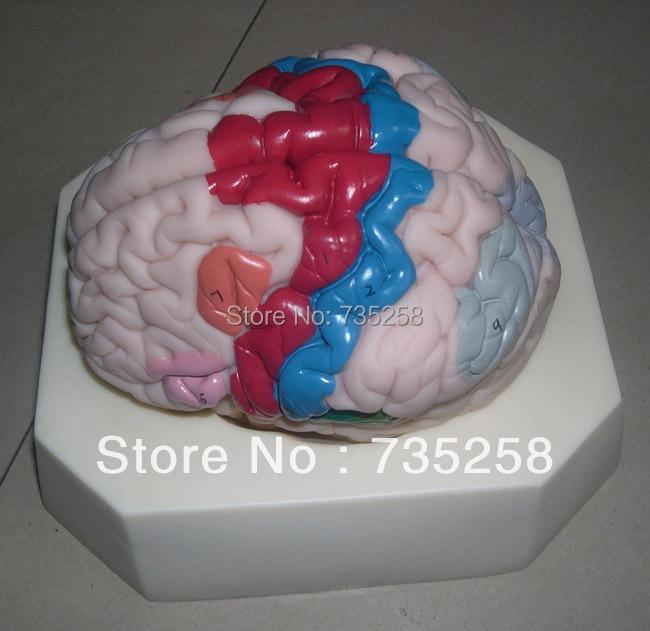 Cerebral Cortex Partition Anatomical Model,Brain Anatomical Model 12408 cmam brain10 medical anatomical brain disease model anatomical model of cerebral artery malformation