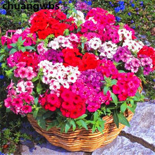 200 Dianthus rare mixed flowers for home garden Sweet William flower pant easy to grow ,high germination DIY