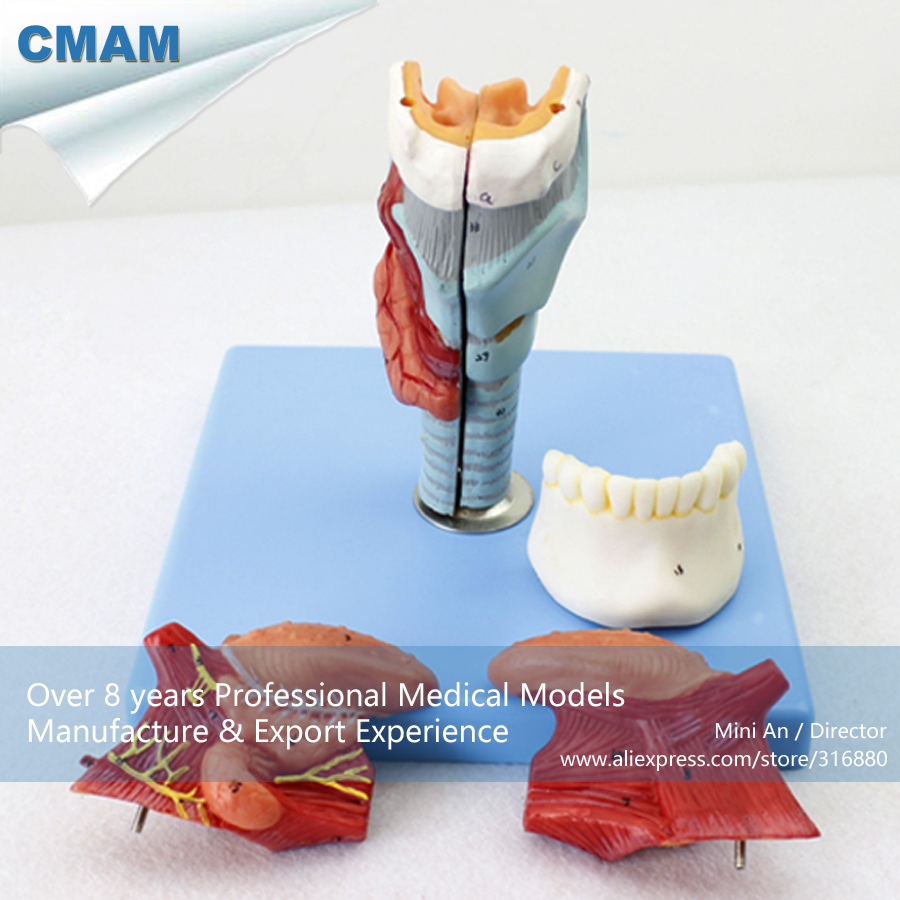 12506 CMAM-THROAT02 Larynx Model with Toungue & Teeth, Full Size Enlarge, 5 Parts, Ear-Eye-Nose-Throat Models > Larynx Models larynx with toungue and teeth model anatomical larynx model