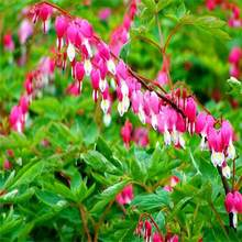 100PCS Heart Flower bonsai Dicentra spectabilis Sweet Heart Wallet Peony Flowers For garden plant Rare Shade Perennial flower.(China)