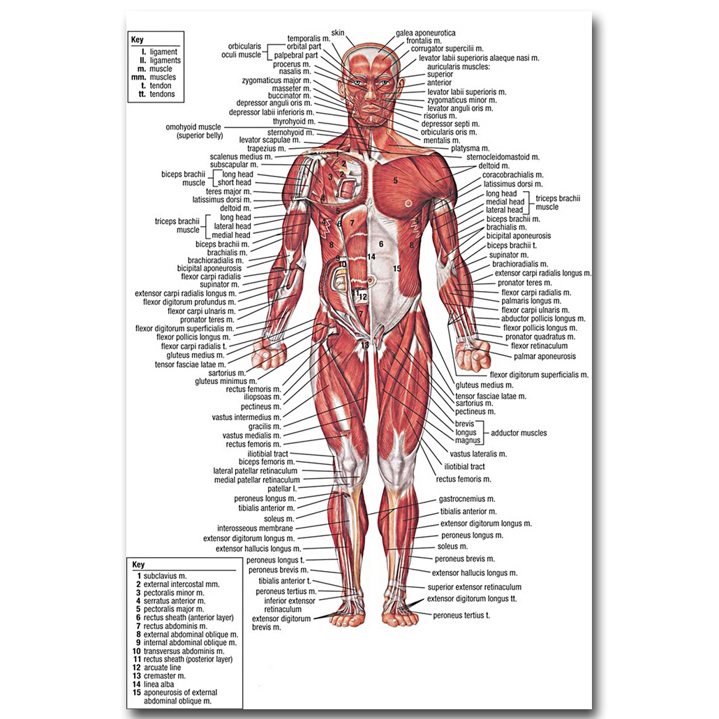 Nicoleshenting Anatomía Humana músculos sistema Art seda cartel ...
