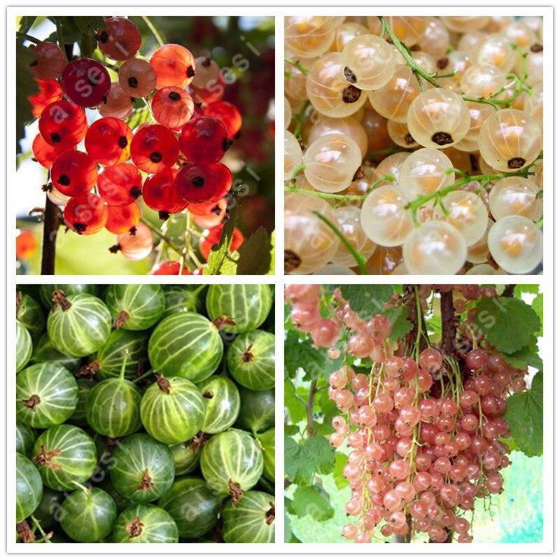fruit seeds currant Fruit plant Pan-American Gooseberry seeds Lantern fruit seed 30 seed ...