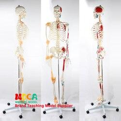 170 CENTIMETRI Scheletrico Umano Modello Neuromuscolare di Avviamento e Arresto Colorato Legamento Scheletro di Yoga di Insegnamento Medico MGG301