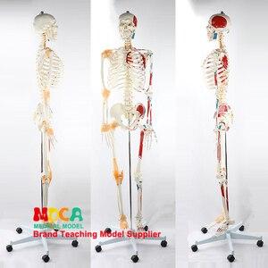 Image 1 - 170 CENTIMETRI Scheletrico Umano Modello Neuromuscolare di Avviamento e Arresto Colorato Legamento Scheletro di Yoga di Insegnamento Medico MGG301