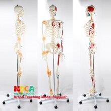 170CM Human Skeletal Model Neuromuscular Starting and Stopping Colored Ligament Skeleton Yoga Medical Teaching MGG301