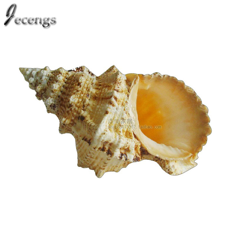 Natural Conch Shell Natural Big Frog Screw Extra Large 25cm Wedding and Home Decoration