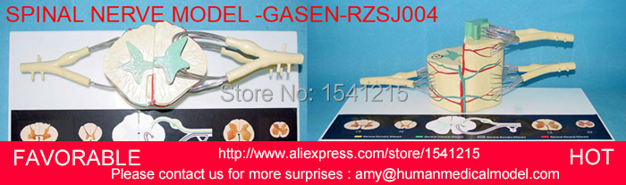 LUMBAR MODEL SPINAL NERVE MODEL CAUDAL EQUINA NERVE LUMBAR SPINE DISC MODEL SPINE CHIROPRACTIC SKELETON MODEL-GASEN-RZSJ004 nerve