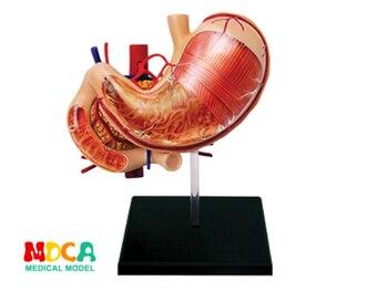 Желудок 4d мастер головоломка сборная игрушка человеческое тело анатомическая модель для медиков обучающая модель