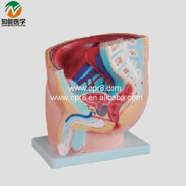 Male Sagittal Anatomy BIX-A1064 WBW235 gastric anatomy model chinon bix a1045 wbw266