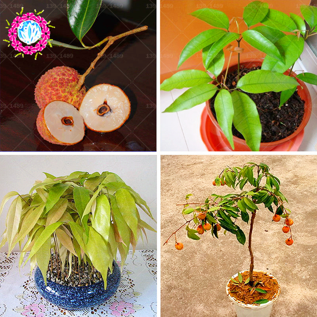 5pcs Lychee plant bonsai Home Gardening Outdoor and indoor Fruit ...