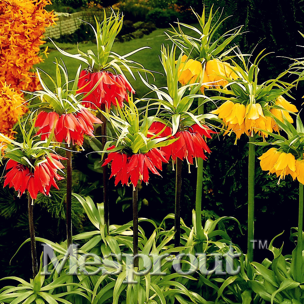 100pcs Crown Imperial Seeds Wang Fritillaria Seeds Easy To Grow Home