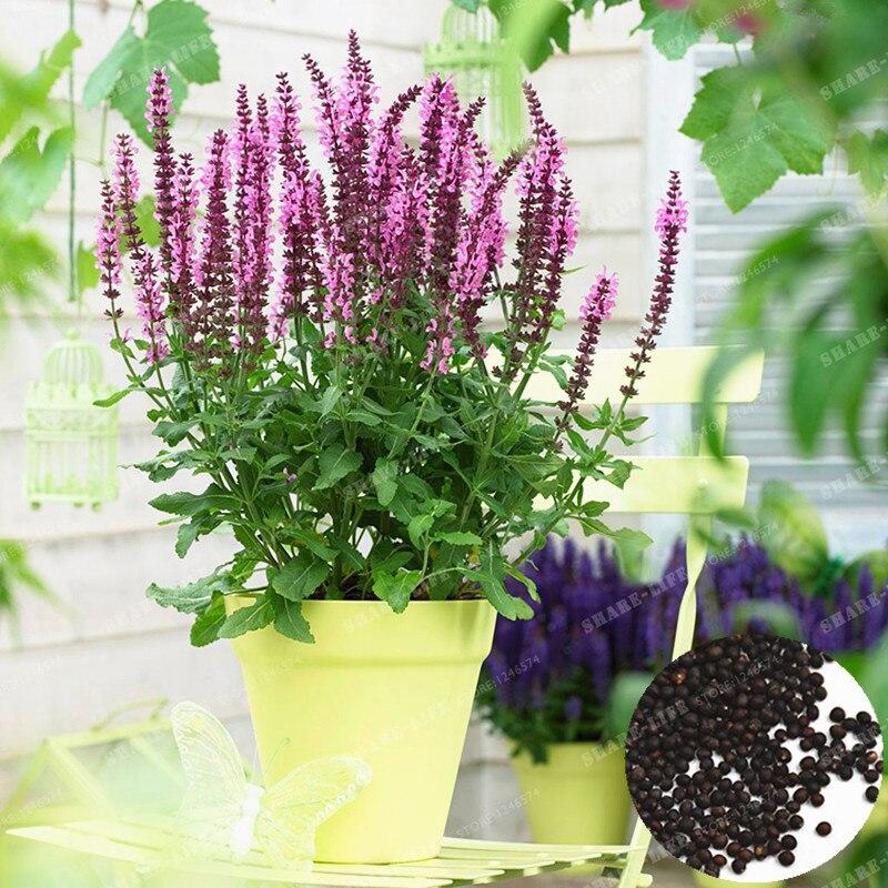 Sage бонсай съедобные бонсай травяные растения голубая Сальвия бонсай душистый шалфей Japonica Сальвия Farinacea балкон бонсай из цветов 100 шт