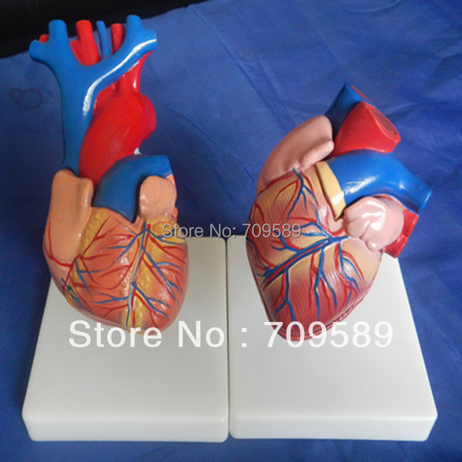 ISO Life-Size Anatomy Heart Model , Educational Heart model, Heart model heart anatomy viscera medical model model of cardiac cardiac anatomy human heart heart medium demo model 6 gasen rzjp006