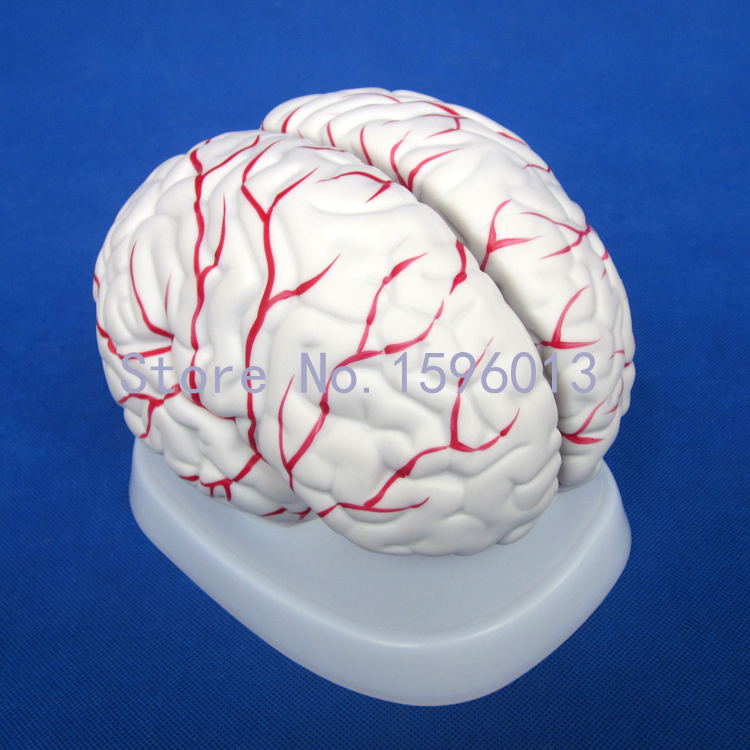 Anatomical Brain Model 3 Parts, New Style Brain Model,Human Brain Model
