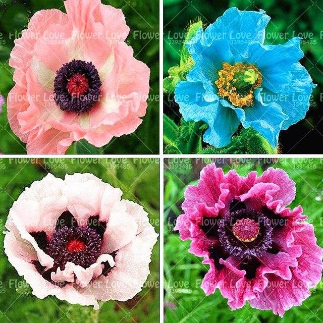 100 PCS بونساي الأزرق الهيمالايا الخشخاش النباتات جميلة المعمرة زهرة مصنع جديد نمط فراشة جذابة للمنزل حديقة النبات