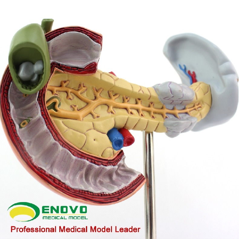 Gastrointestinal Digestive System Model For Pancreaticoduodenal And