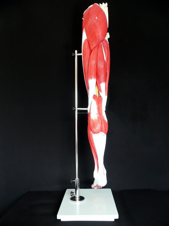 Asombroso Hojas Sistema Muscular Festooning - hojas de trabajo ...