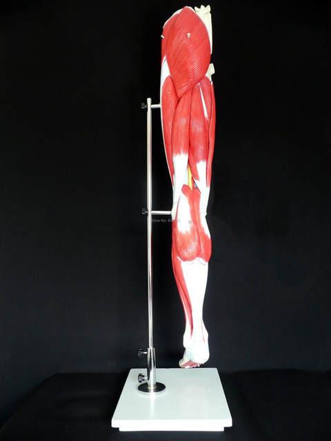 Tienda Online Anatomía Humana esqueleto muscular pierna modelo ...