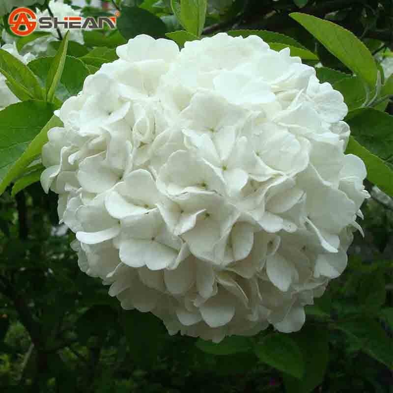 Compra hortensias blancas online al por mayor de china - Semillas de hortensias ...