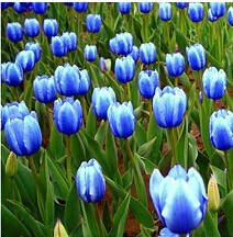 Popular Blue Tulip Bulbs Buy Cheap Blue Tulip Bulbs Lots