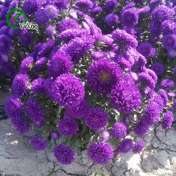 compare prices on purple aster flower online shopping/buy low, Beautiful flower