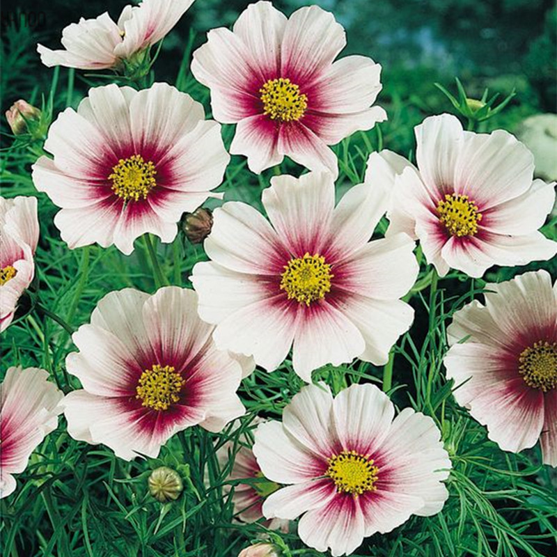 Cosmos floresperennial garden flower plantassubtropical bonsai cosmos floresperennial garden flower plantassubtropical bonsai plant for outdoor and indoorvarious color100 pcsbag in bonsai from home garden on mightylinksfo