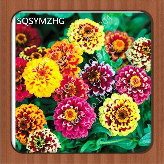 Garden of various colors Zinnia seed /30PC+ seed potted flower seeds on