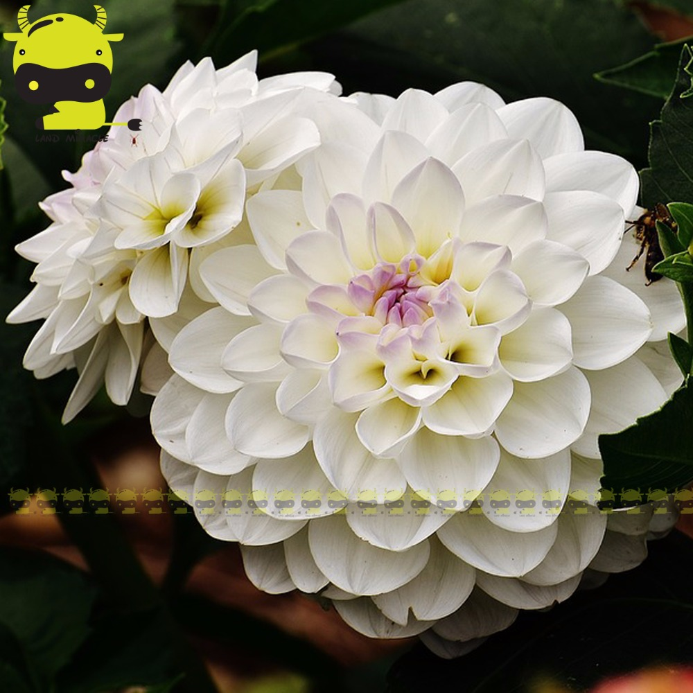 White dahlia flower seeds 50 seeds charming perennial flower seeds dahlias how to plant grow and care for dahlias dahlias are colorful spiky flowers which generally bloom from midsummer to first frost when many other izmirmasajfo