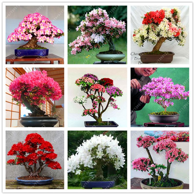 10 Pcs Bag Rare 18 Varieties Sakura Seeds Japanese Cherry