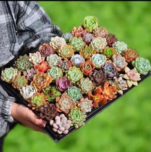 100pcs mix Echeveria laui Cactus bonsai Rare Succulents plants Flower Indoor Plantas Perennial Flowers