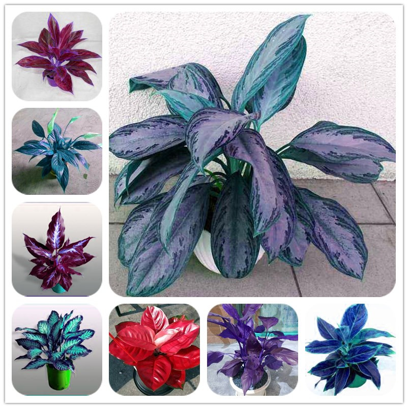 200 Pcs Colorful Aglaonema Bonsai Pink