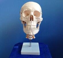 Skull with Cervical Spine,1:1 Skull With Cervical Vertebra Model,Natural Large Skull Cervical Spine Model