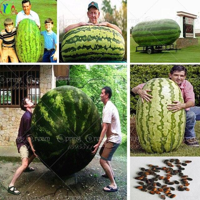 30/мешок гигантские Семена Арбуза, сладкий Вкус Овощей и фруктов семена очень гигантский вкусный бесплатная доставка