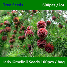 Widely Cultivated Larix Gmelinii Seeds 600pcs, Family Pinaceae Dahurian Larch Tree Seeds, Garden Greening Deciduous Trees Seeds