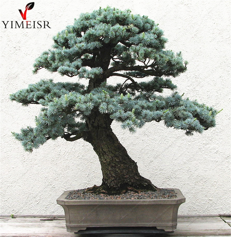 Cedrus deodara seeds Cedrus Deodara Conifer Indoor Plant bonsai tree seeds Light blue Deodara Cedar seed 10pcs bag