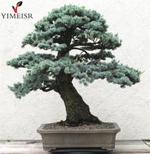 Cedrus deodara seeds Cedrus Deodara Conifer Indoor Plant bonsai tree seeds Light blue Deodara Cedar seed