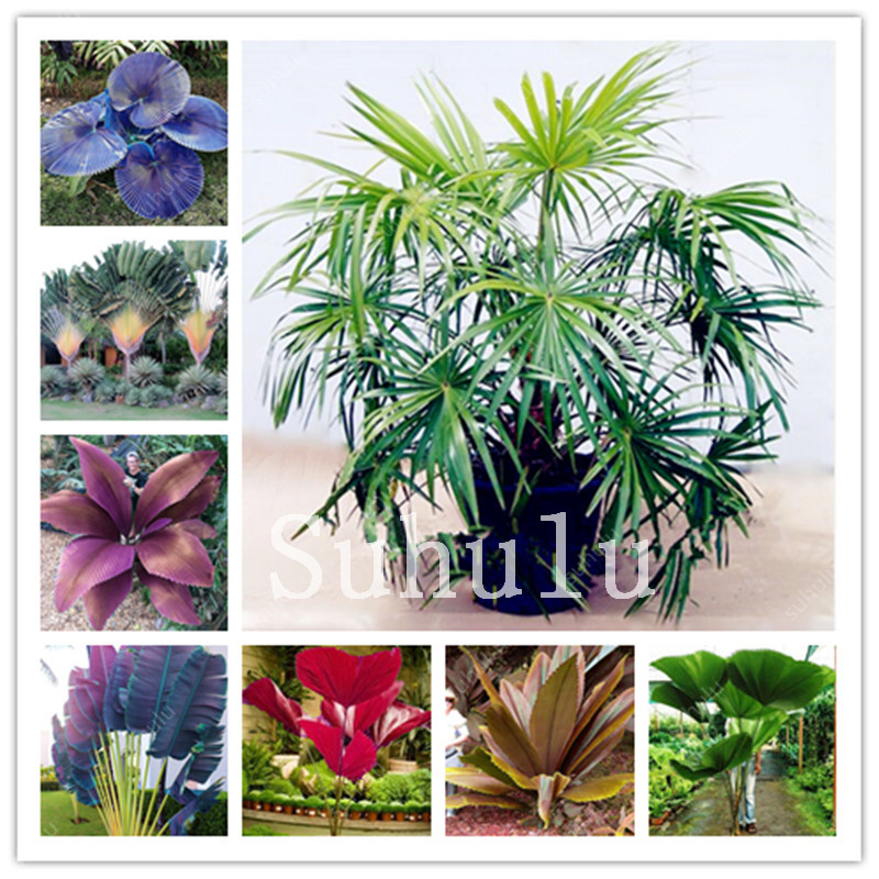 20 Pcs Palm Bonsai Outdoor Gaint Plam Tree With Beauty Leaves