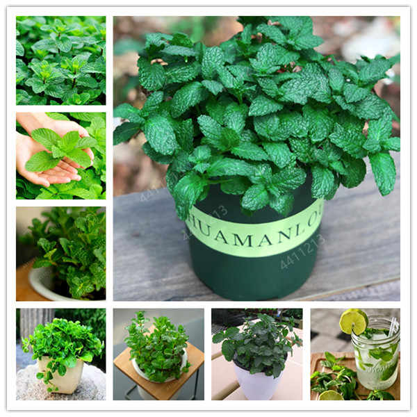 100pcs/bag Mint Seedling potted herb edible Plants in bonsai or pot Organic Plantas vegetables for home and garden