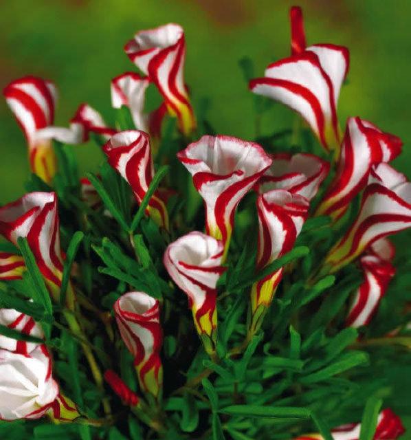 Oxalis Versicolor Flowers Seeds 100pcs World's Rare Flowers For Garden Home Planting Flowers Semillas