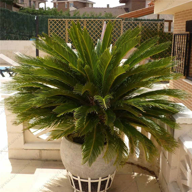 Sago Palm Tree seeds Cycas revoluta Tropical Fossil Easy to Grow Cycad Bonsai Tree seed for indoor plant seeds 1pcs/bag