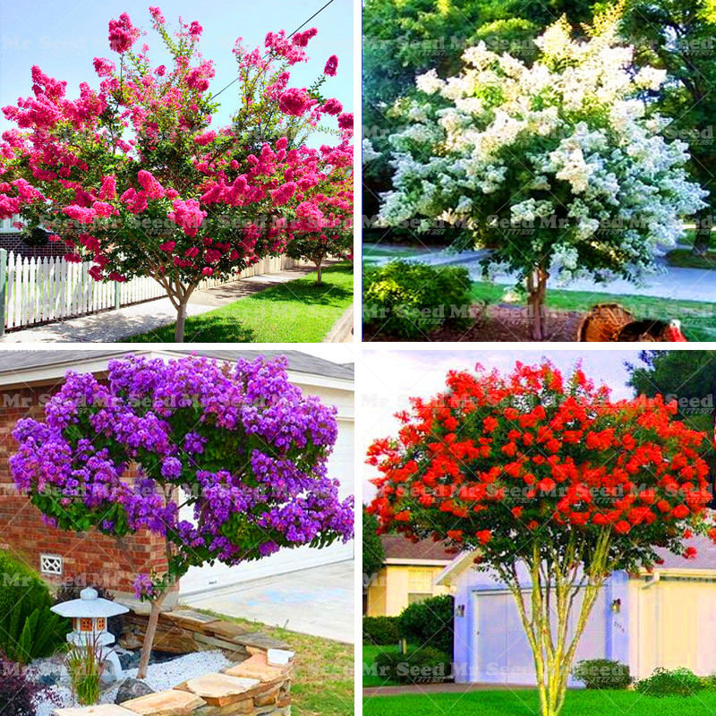 100pcs crape myrtle shrub lagerstroemia perennial flower seeds courtyard myrtle flowers home. Black Bedroom Furniture Sets. Home Design Ideas