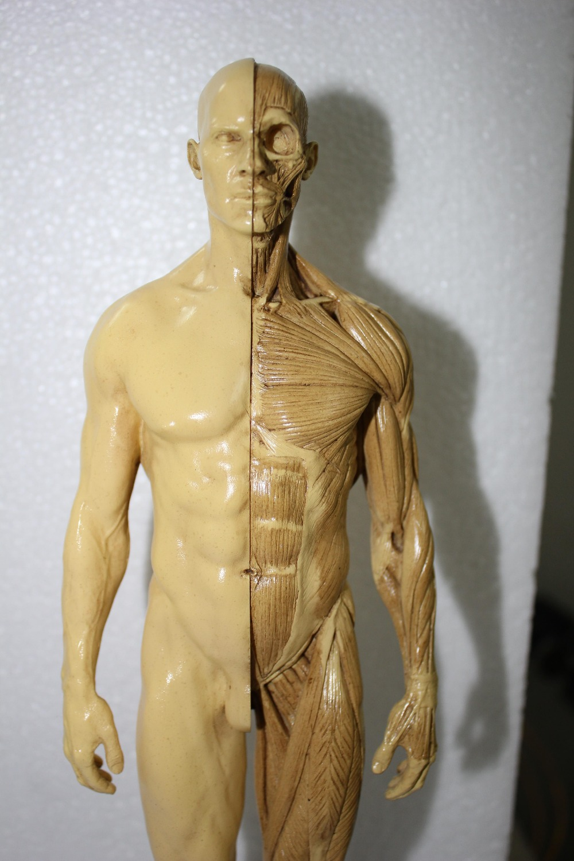 1:6 30cm Human skeleton anatomical Painting model for sale ...