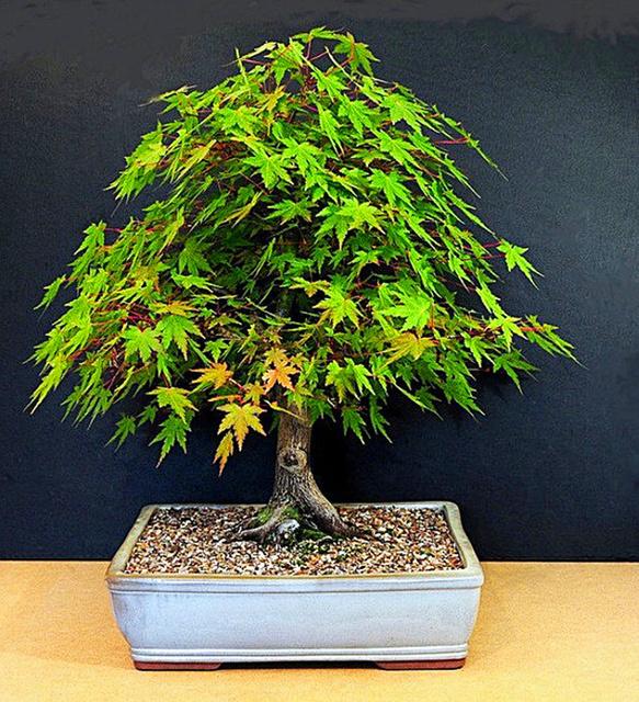 10 pcs/bag Graines Mini& Beautiful Green Maple Seeds Bonsai Ornamental Diy Plant Flower Pot Indoor Garden Tree Seed