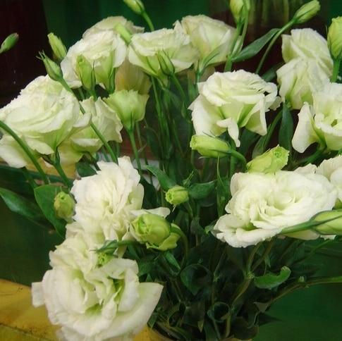 ахименесы ризомы комнатные цветы купить