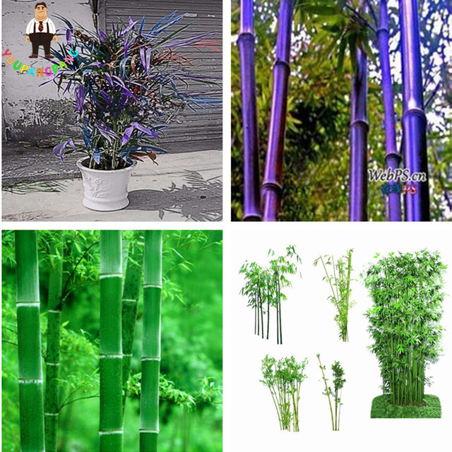 50 Stücke Bambus Pflanzen Hause Garten Pflanze Frische Farbe Bambus  Phyllostachys Aureosulcata Spectabilis Topfpflanze Pflanzen Bonsai