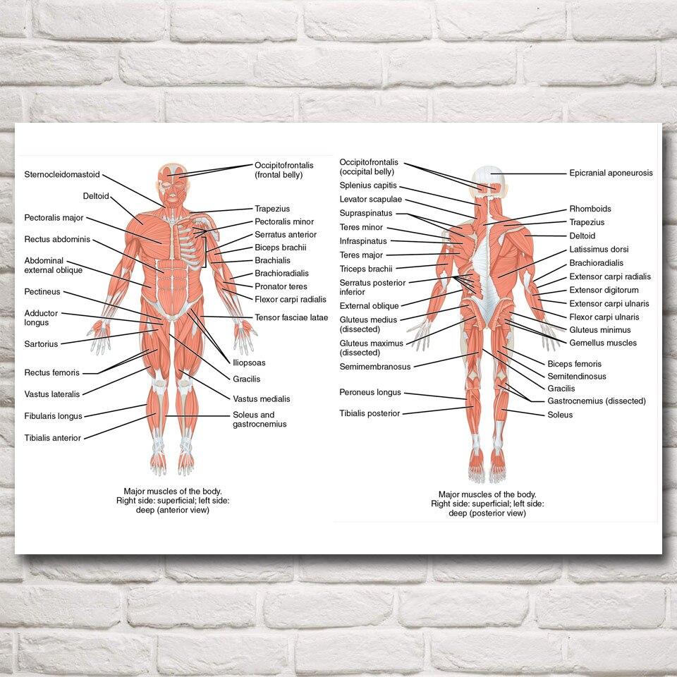 Wunderbar Anatomie Und Physiologie Arterien Und Venen Bilder ...