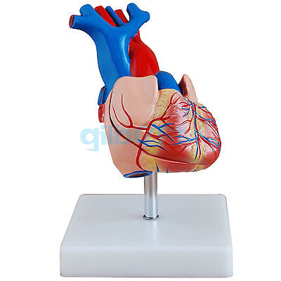 Life Size Human Heart Vein Plumonary Circulation Anatomy Cardiac Medical Model vein finder vein viewer for adults children suitable vein viewer display lights imaging find vein medical